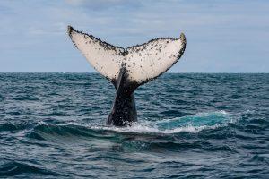 baleia jubarte praia do forte